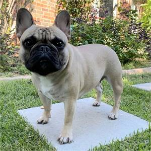 2021 Lovely  French bulldogs for Sale