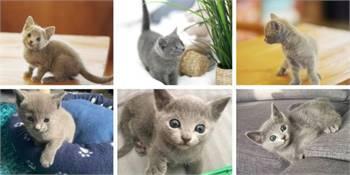 Russian Blue Kitten for Sale Near Me