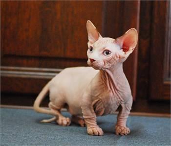 Bambino Sphynx Kitten