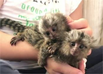 Marmoset monkeys for adoption.