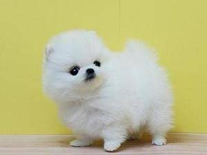 Beautiful male and female teacup pomeranian puppies for sale