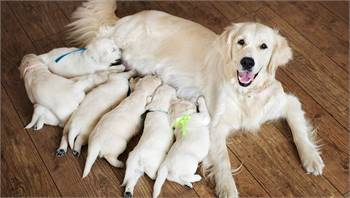 beautiful Purebred Labrador Retriever Puppies for sale males and females