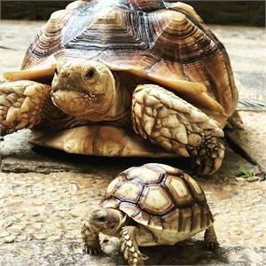 buy Yellow Foot tortoise