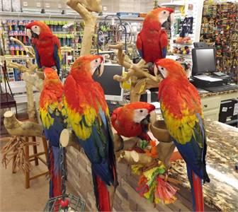 Scarlet Macaw Parrots on Sale