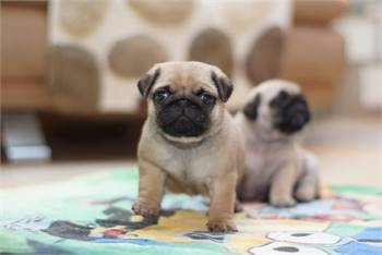Well socialized Short Legs Pug Puppies With Shots