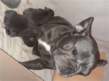 Pesi French bulldog puppies
