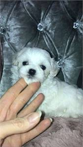 Fabulous Maltipoo Puppies for sale