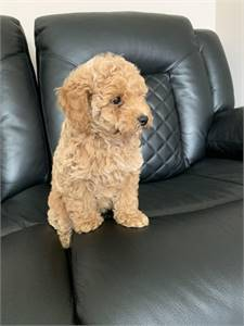 Golden retriever puppies available now