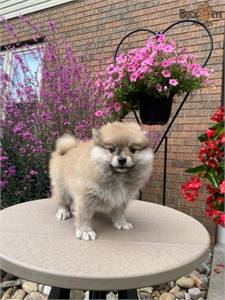Pomeranian puppies pet only