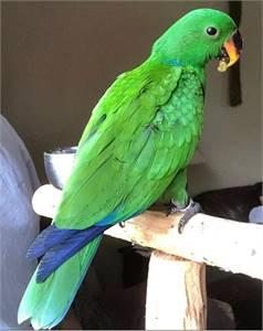 Baby Eclectus Parrot