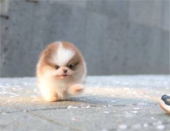 Tokyo Pomeranian pups