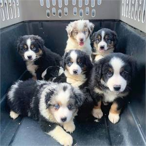 Home Trained mini aussie Puppies