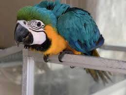 Blue and Gold Macaw Parrots on Sale