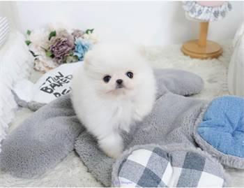 Pomeranian Puppies 🐕