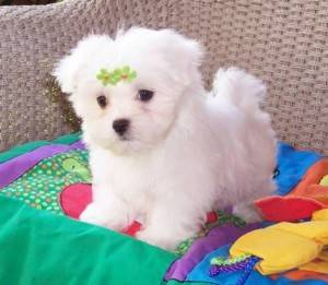 Maltese puppies for sale:: (602) 842-8885
