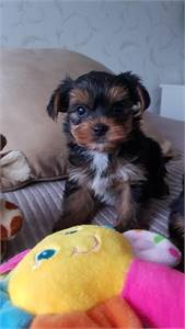 Cute male and female Yorkshire Terrier puppy for Adoption