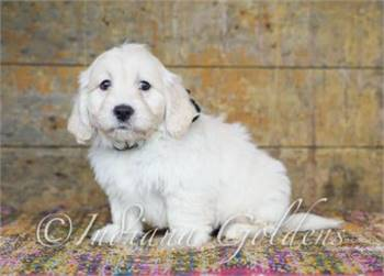 English Cream Mini Goldendoodle Puppies | Indiana Goldens