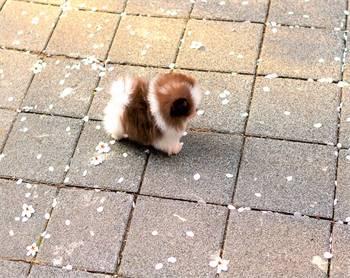 Keyel Pomeranian pups