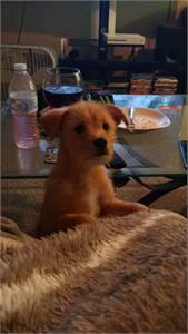 Chihuahua Mix Male Puppy