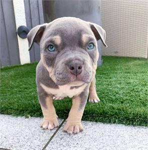 Adorable Pitbull Puppies For Sale/Adoption