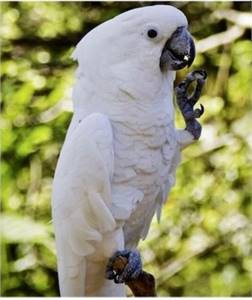 Umbrella Cockatoo for sale