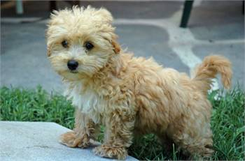 Excellent Maltipoo Puppies for Sale.