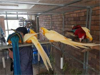 Macaw parrots  &  eggs Now Available