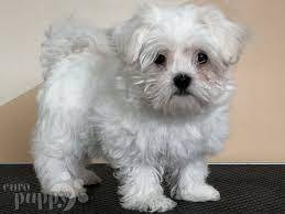 smart Maltese puppies for sale