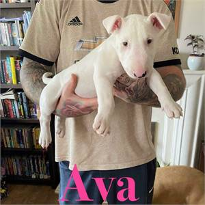 Bull Terriers Puppies