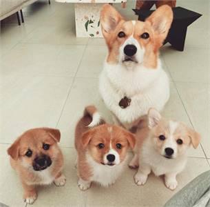 Adorable Pembroke Welsh Corgi Puppies For Adoption