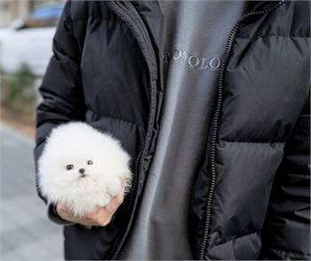 Eva Pomeranian pups