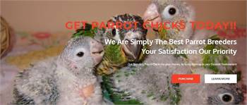GET PARROT CHICKS TODAY!!