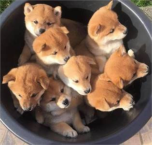 Shiba Inu puppies now ready