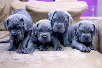 Cane corso puppies for new homes