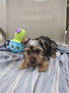 Yorkies an boxer puppies