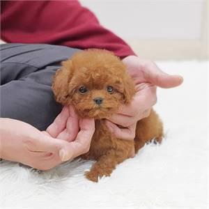 Toy Poodle  Puppies For Sale | https://sunshineteacuppuppieshome.com/