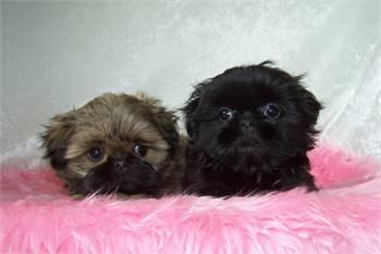 Shih Tzu Puppies 🐕