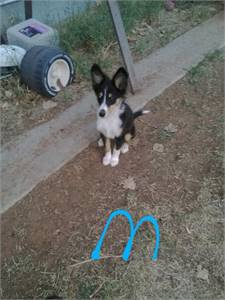 AKC Sheltie puppy's, 2 Male. Born Jun 15 2020