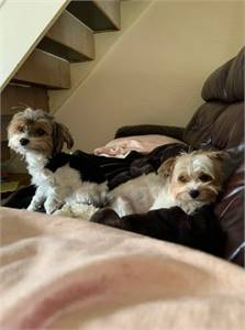 Gorgeous male and female Yorkshire Terrier puppy for Adoption
