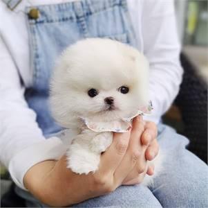 Purebred teacup Pomeranian puppy male
