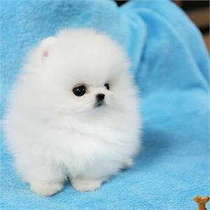 Pomeranian puppies available for free adoption