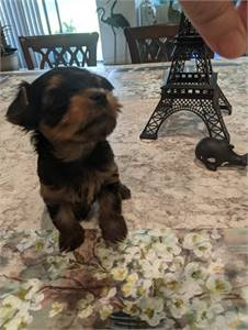 Boo Yorkie Puppies Now Available