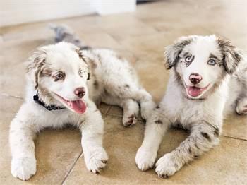 Australian shepherd puppies sales
