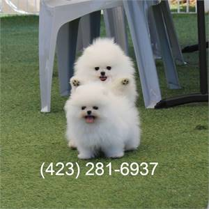 Top Quality Registered Pomeranian