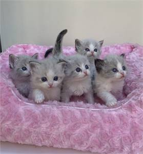 Quality ragdoll Kittens for sale