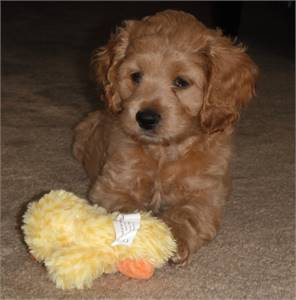 Lovely cockapoo puppies ready