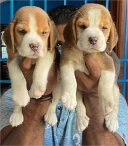 WILLIAM PUPPIES | Your Best Home Companion