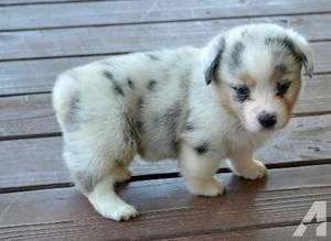Super Pembroke corgi puppies for sale