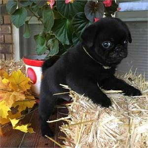 Pug puppies for sale to go homes