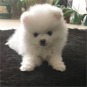pomeranian for rehoming, text or whatapp 5086390191